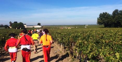 Medoc løpere blant vinranker
